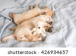 two small puppies sleeping on...   Shutterstock . vector #426934657