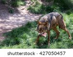 Adult Male Iberian Wolf   Cani...
