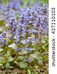 Small photo of Blooming blue bugleweeds Ajuga in the summer meadow - photo