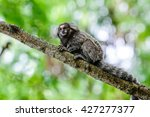 White Tufted Ear Marmoset In...