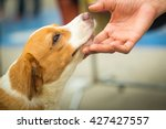 Stock photo hands touch the dog s head to show love 427427557