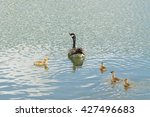 Swimming Mother Canada Goose...