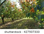 Persimmons Growing In A...