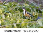 Small photo of Eastern Spinebill (Acanthorhynchus tenuirostris) Chiltern - Mt Pilot National Park, Victoria, Australia
