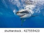 Great White Shark Swimming Jus...