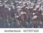 greater flamingos in ras al... | Shutterstock . vector #427557103