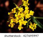 Small photo of Autinia saxatilis - Alyssum saxatile - Basket of god - Rock Madwort - Goldentuft - closeup