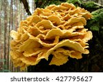 Edible Chicken Of The Woods...