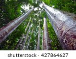 Giant Kauri Trees In The...