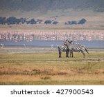 Zebra In Ngorongoro...