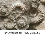 Small photo of Scaphites from the family of heteromorph ammonites widespread during the Cretaceous Period found as fossils. Extinct prehistoric animals.
