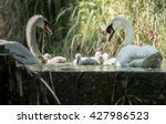 Five Cygnets Swimming With...