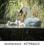 Four Cygnets Swimming With...