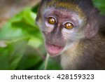baby monkey with mouth open in... | Shutterstock . vector #428159323