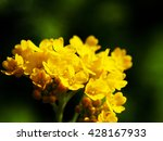 Small photo of Autinia saxatilis - Alyssum saxatile - Basket of god - Rock Madwort - Goldentuft - closeup