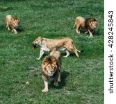 beautiful lions in savannah | Shutterstock . vector #428245843