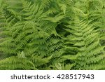 grass background young greens... | Shutterstock . vector #428517943