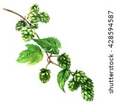 branch green hop with leaves... | Shutterstock . vector #428594587