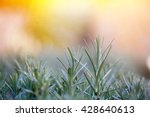 fresh and young rosemary branch ...   Shutterstock . vector #428640613