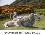 sheep offspring.  | Shutterstock . vector #428719117