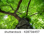 green tree with branches and... | Shutterstock . vector #428736457