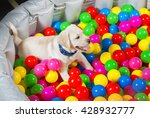 Stock photo little puppy playing in pool full of balls 428932777