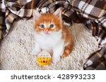 Ginger Kitten With White Chest...