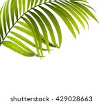 Green Leaves Of Palm Tree On...