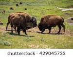 Bison Sparring In A Meadow ...