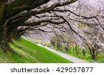 Cherry Blossom At Sewari River...