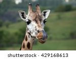 Rothschild's Giraffe  Giraffa...