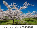 white sakura trees against the... | Shutterstock . vector #429358987