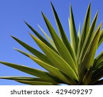 Agave Tequilana Plant To...