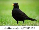 Blackbird  Turdus Merula ...