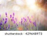 Lavender Bushes Closeup On...