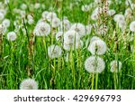 Dandelion Clocks In A Meadow