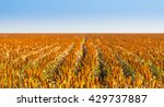 sorghum grains growing in... | Shutterstock . vector #429737887