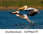 pair of pelicans in flight | Shutterstock . vector #42996679