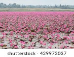 red lotus  thailand  lotus  red ... | Shutterstock . vector #429972037