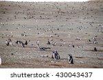 Colony Of Magellanic Penguins ...