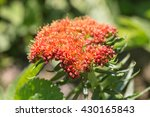 Small photo of Rhodiola in spring close up (Rhodiola linearifolia)