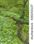 Small photo of Woodland with Wild Garlic, Allium ursinum