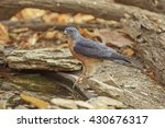 Small photo of Beautiful of Chinese Goshawk or Chinese Sparrowhawk (Accipiter soloensis), drinking water and standing on old wood stump in nature of Thailand