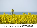 Canola Field Closeup With A...