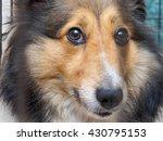 Closeup Portrait Of Shetland...