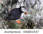 Small photo of Puffins are any of three small species of alcids (auks) in the bird genus Fratercula