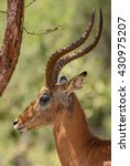 Small photo of Impala - Aepyceros melampus, Kenya