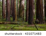 Giant Coast Redwood Trees Towe...