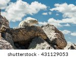 a goat lays down on a heap of... | Shutterstock . vector #431129053