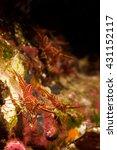 durban dancing shrimp | Shutterstock . vector #431152117